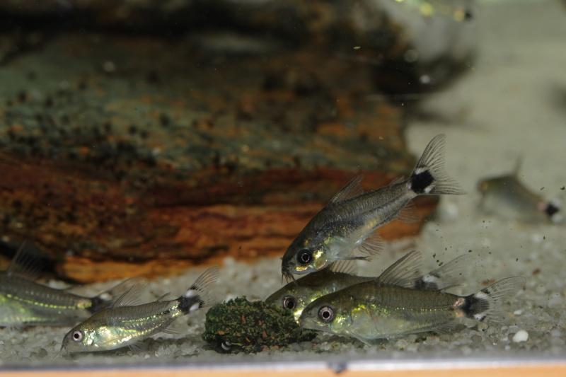 Corydoras hastatus/Hyphessobrycon elachys - Page 5 Corydo12