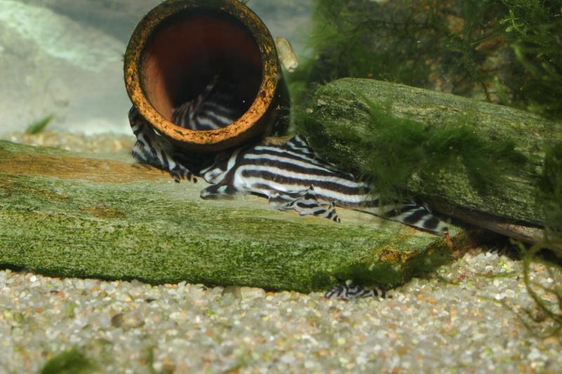 Bac spécifique pour la reproduction d'Hypancistrus zebra - Page 5 Groupe10