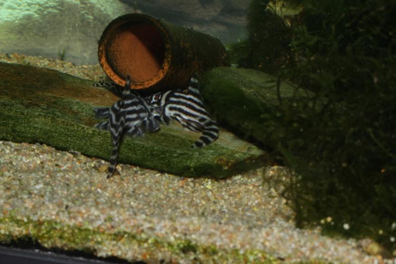 Bac spécifique pour la reproduction d'Hypancistrus zebra - Page 5 Myle_e10
