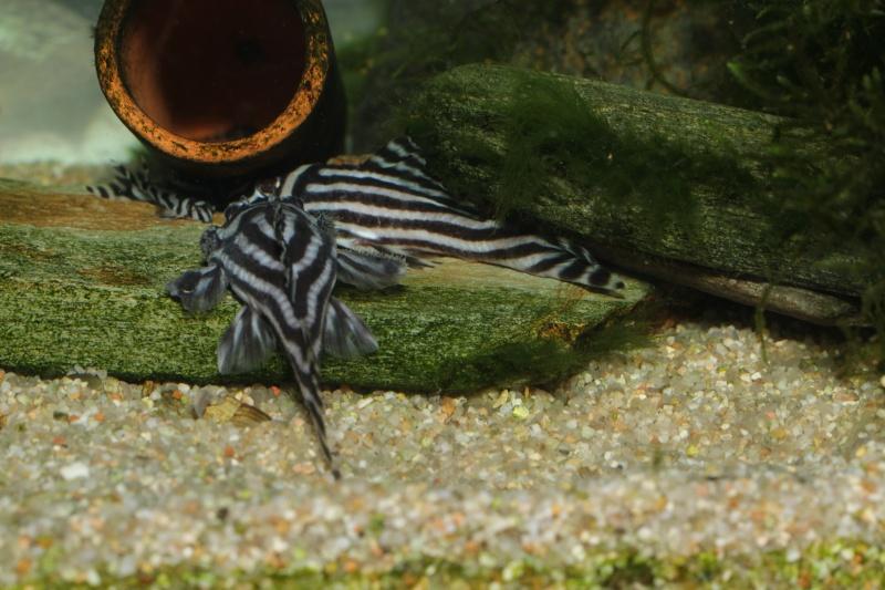 Bac spécifique pour la reproduction d'Hypancistrus zebra - Page 5 Myle_e13