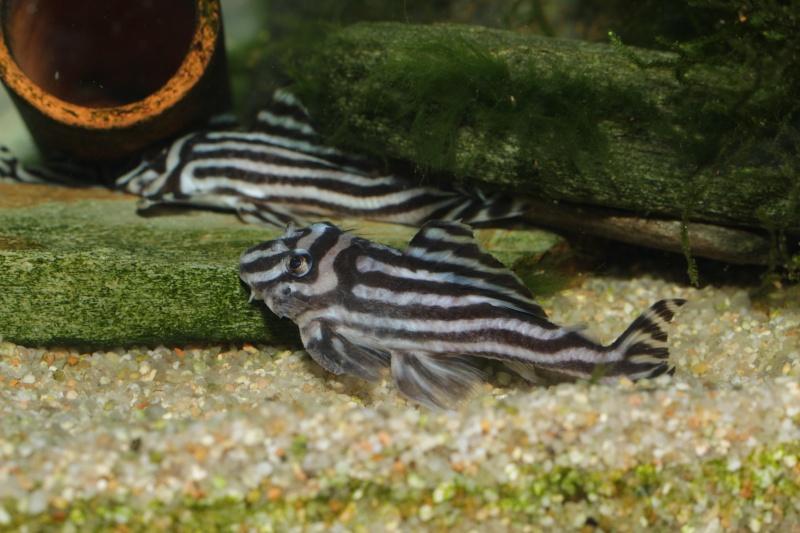 Bac spécifique pour la reproduction d'Hypancistrus zebra - Page 5 Myle_e19