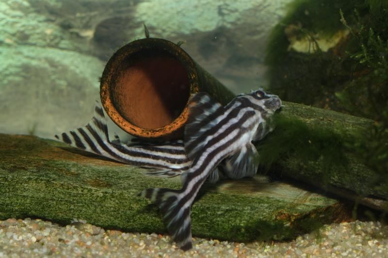 Bac spécifique pour la reproduction d'Hypancistrus zebra - Page 5 Myle_e22