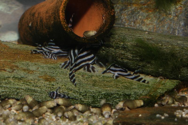 Bac spécifique pour la reproduction d'Hypancistrus zebra - Page 5 Myle_e35