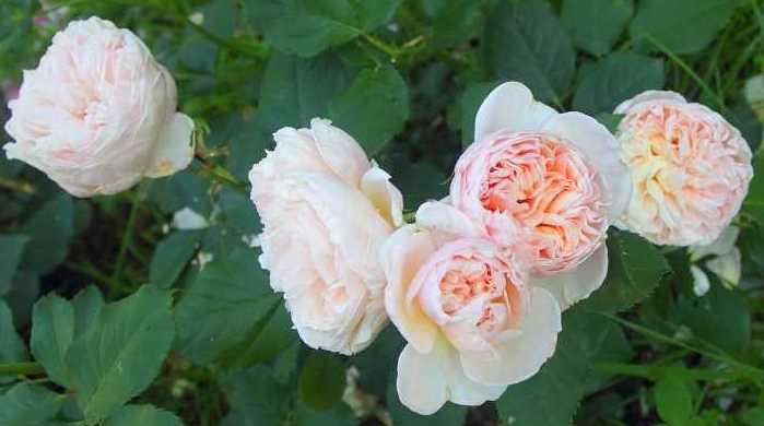 rosier belle romantica Belle_18