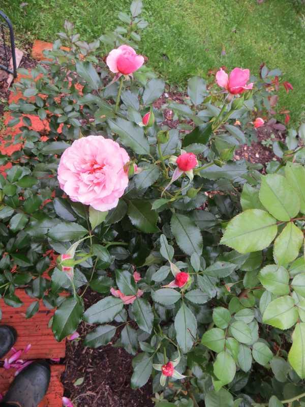 Rosa 'Botticelli' - Page 3 Bottic10