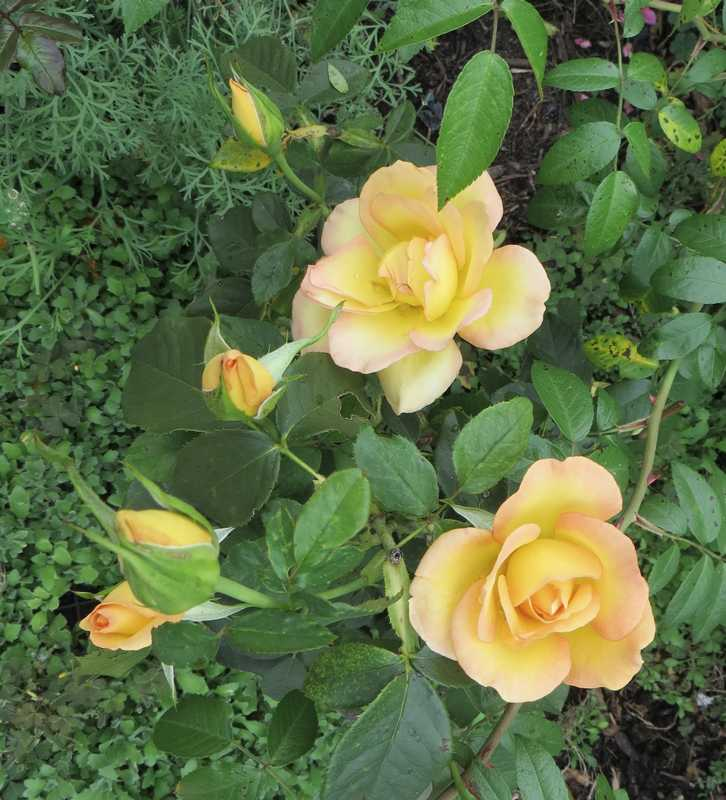 rosier euréka Eureka10