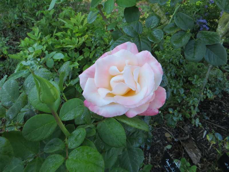 rosae Laéticia Casta - Page 3 Laytic10