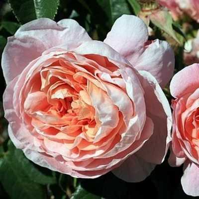 rosier Colette Rosier10