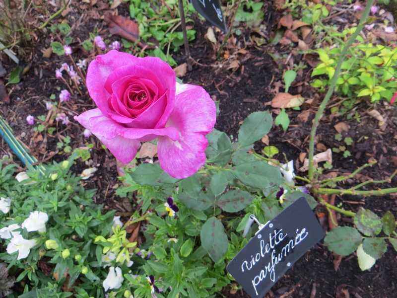 Rosa 'Violette Parfumée !!! - Page 4 Violet10