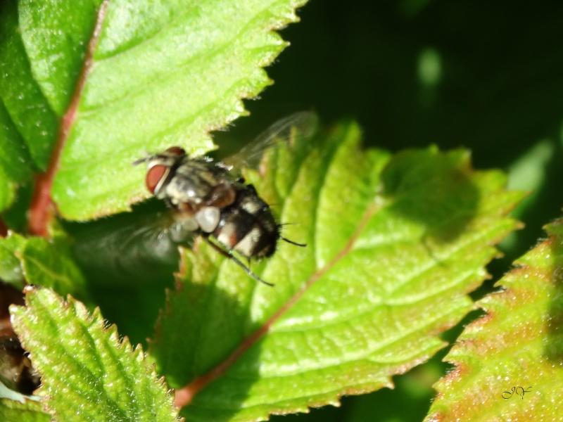 Muscidae. Non : tachinidae. Dsc08010