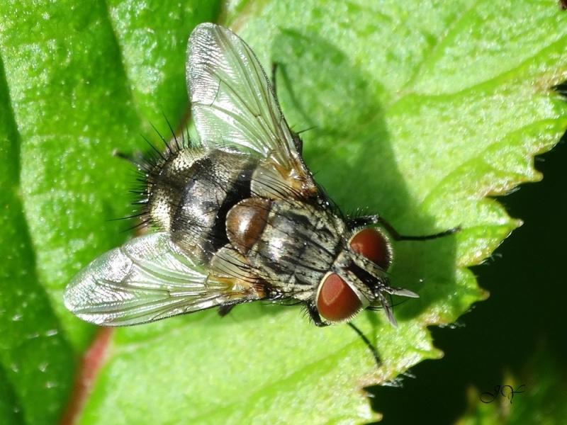 Muscidae. Non : tachinidae. Famill10
