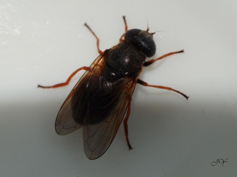Mouche à identifier. (Syrphidae)  Mosill10