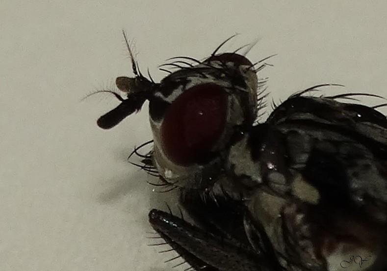 Anthomiidae. Mouche10