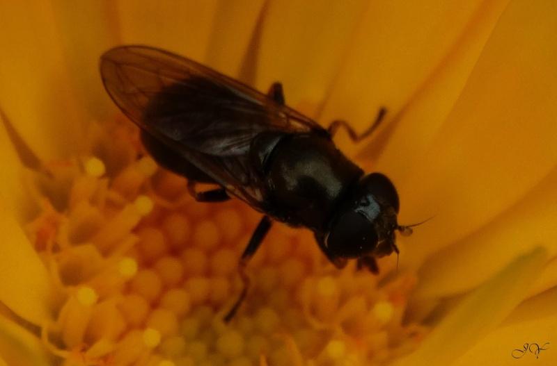 Mouche à identifier. (Syrphidae)  Poil_a10