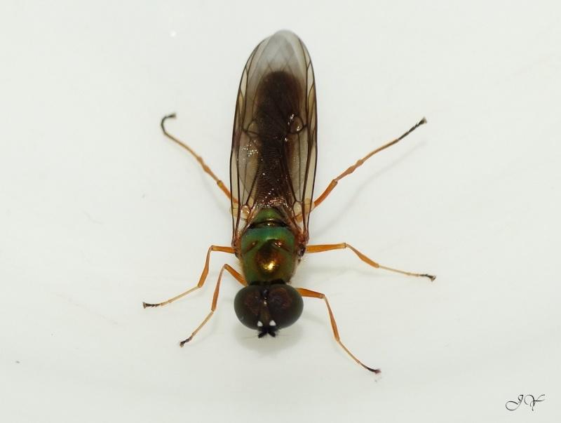 Stratiomyidae Sargus10