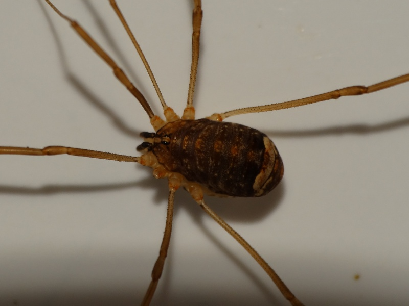 Opiliones Taille10
