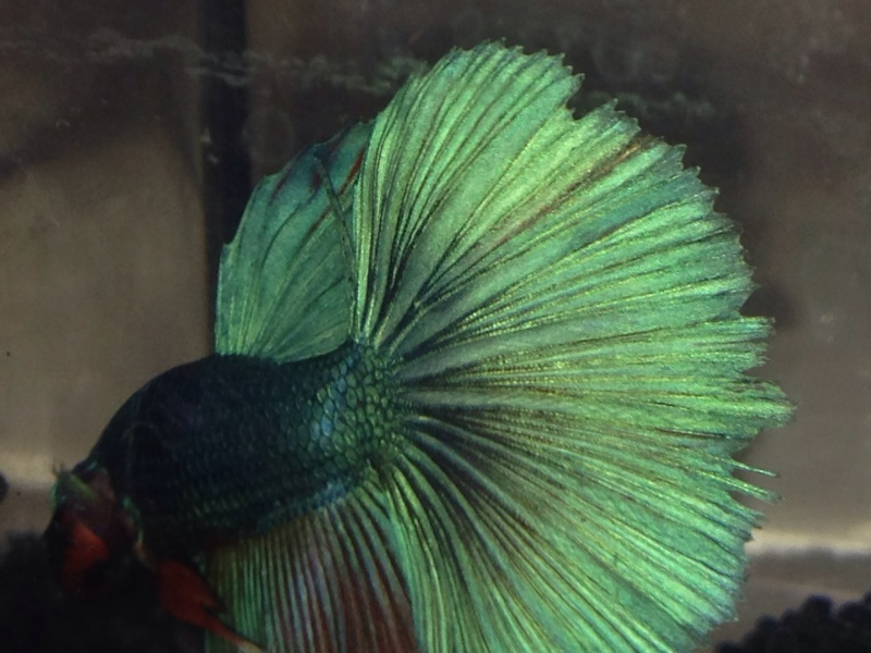 Nouveau Betta+Questions :) Image11