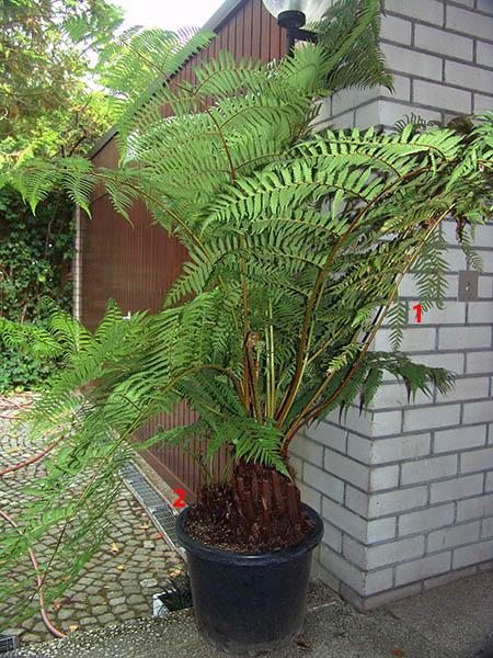 Baumfarne -  Arten, Pflege und ihre Vermehrung Dsc00014