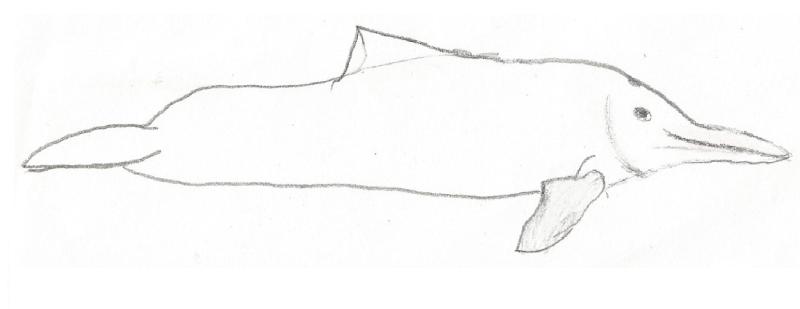 Westafrikanischer Flussdelfin Paraso10