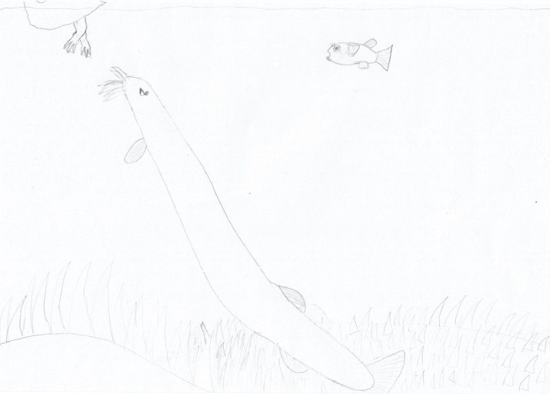 Mekong-Riesenwelsdornauge Riesen11