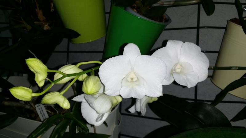 dendrobium phalaenopsis Emma White 20151116