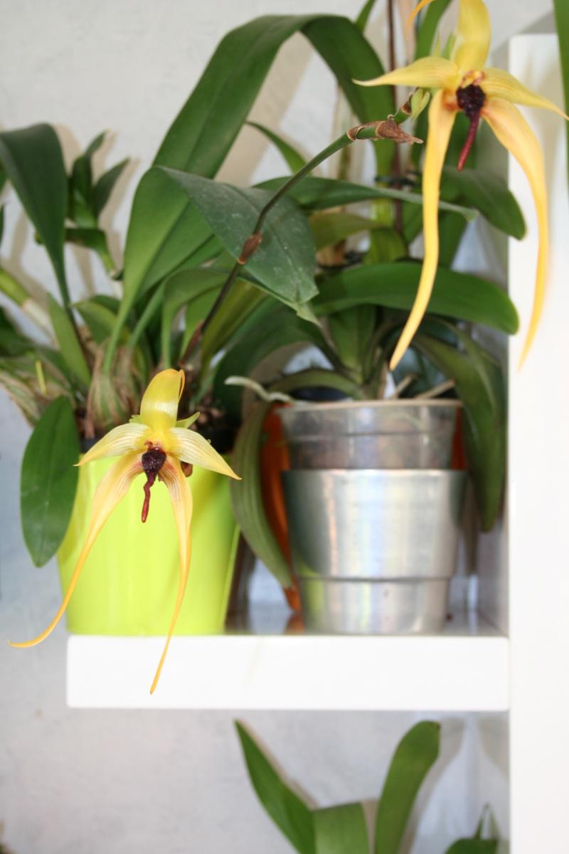 bulbophyllum Echinolabium x carunculatum 'l'Amazone' Img_2211