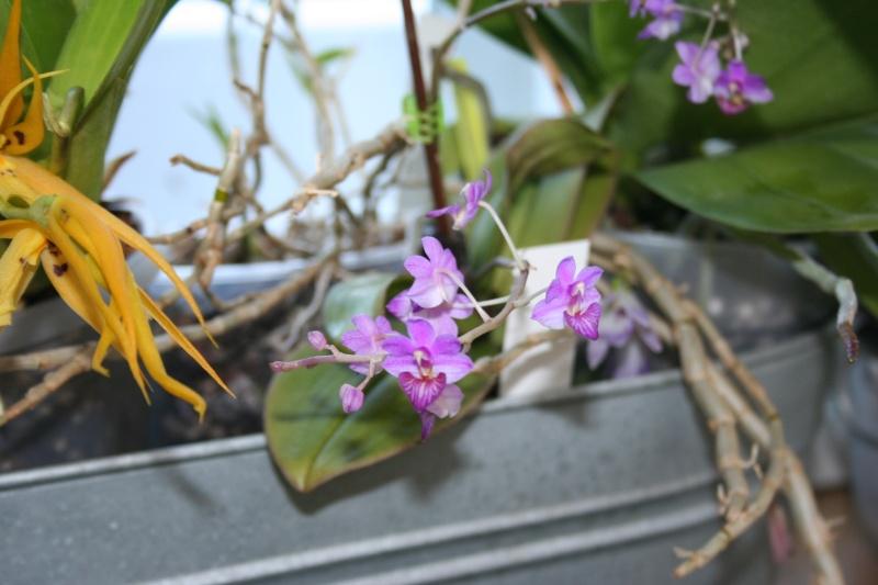 phalaenopsis san shia appendo blue - Page 2 Img_2229