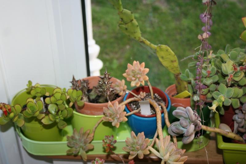 mes succulentes en hivernage  Img_2310
