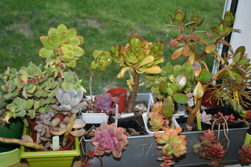 mes succulentes en hivernage  Img_2311