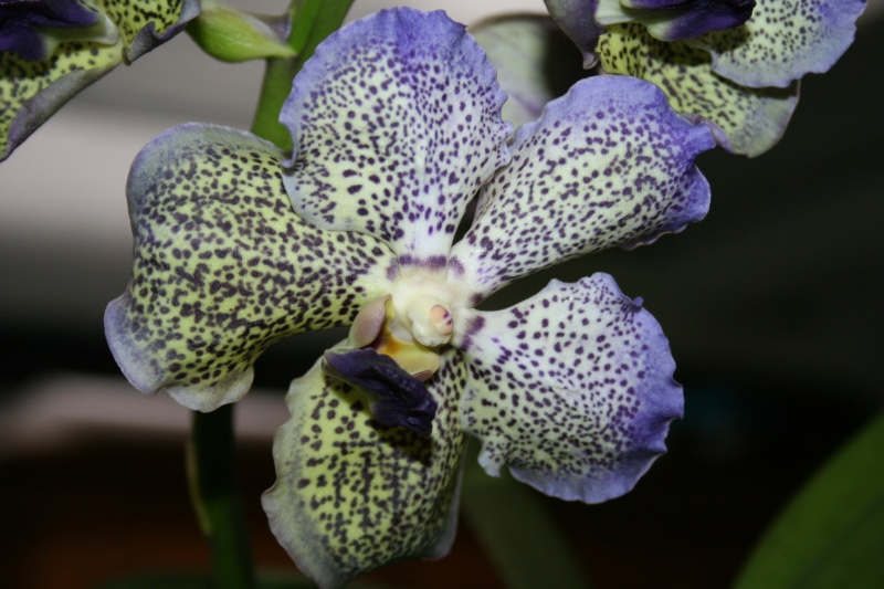 vanda moonlight blue - Page 2 Img_2321