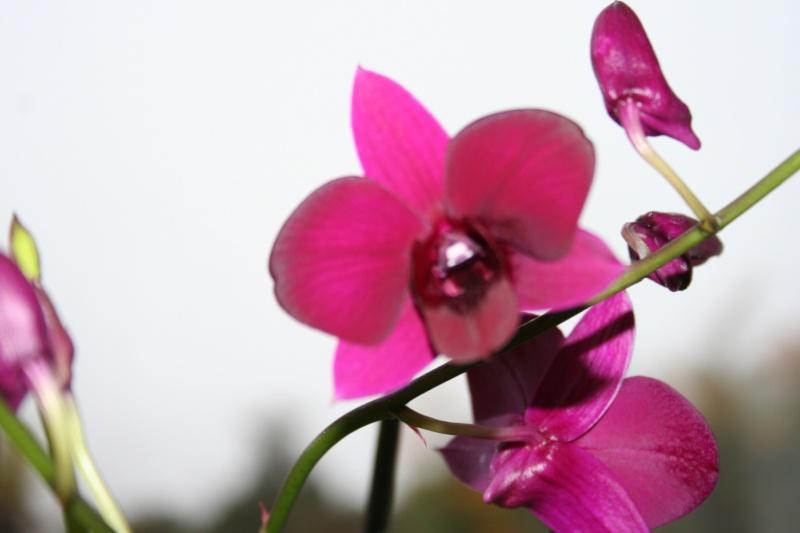 Dendrobium de type phalaenopsis thai black - Page 2 Img_2322