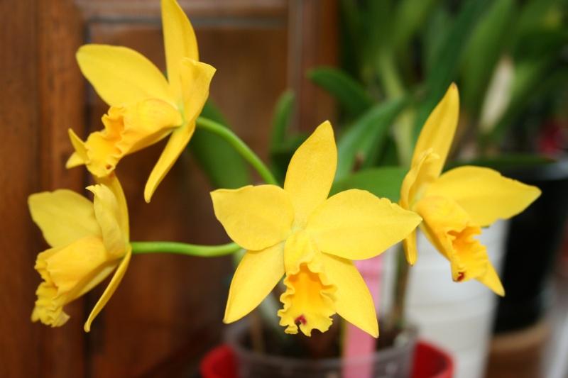 cattleya jaune Img_2325