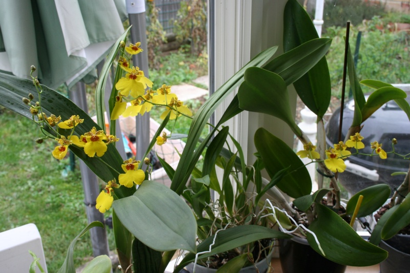 oncidium pluie d'or - Page 4 Img_2339