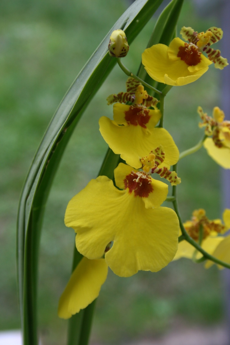 oncidium pluie d'or - Page 4 Img_2341