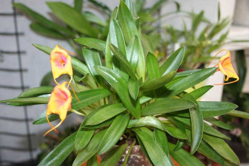 masdevallia angel frost X veitchiana Img_2342