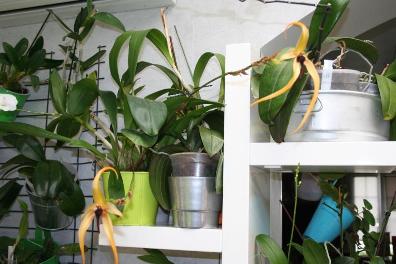bulbophyllum Echinolabium x carunculatum 'l'Amazone' - Page 2 Img_2345