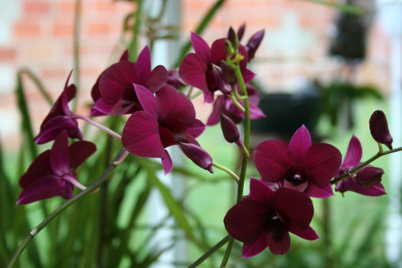 Dendrobium de type phalaenopsis thai black - Page 2 Img_2349
