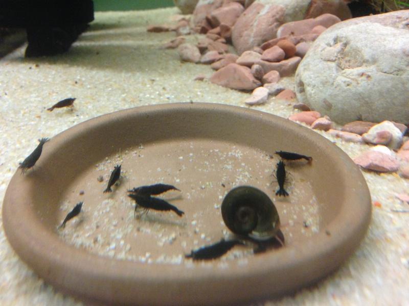 presentation de mes crevettes Img_2212