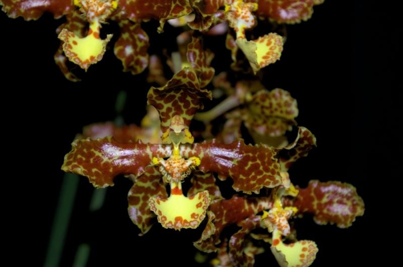 Oncidium stacyi ein rattenschwänziges Oncidium Oncidi17