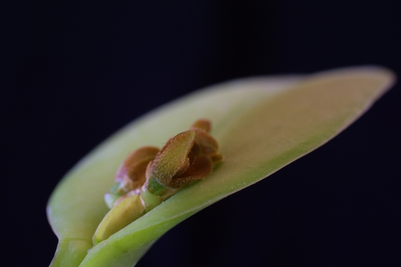 Pleurothallis circumplexa Pleuro10