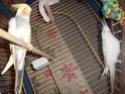 Mes colocataires à plumes ! Dscn1010