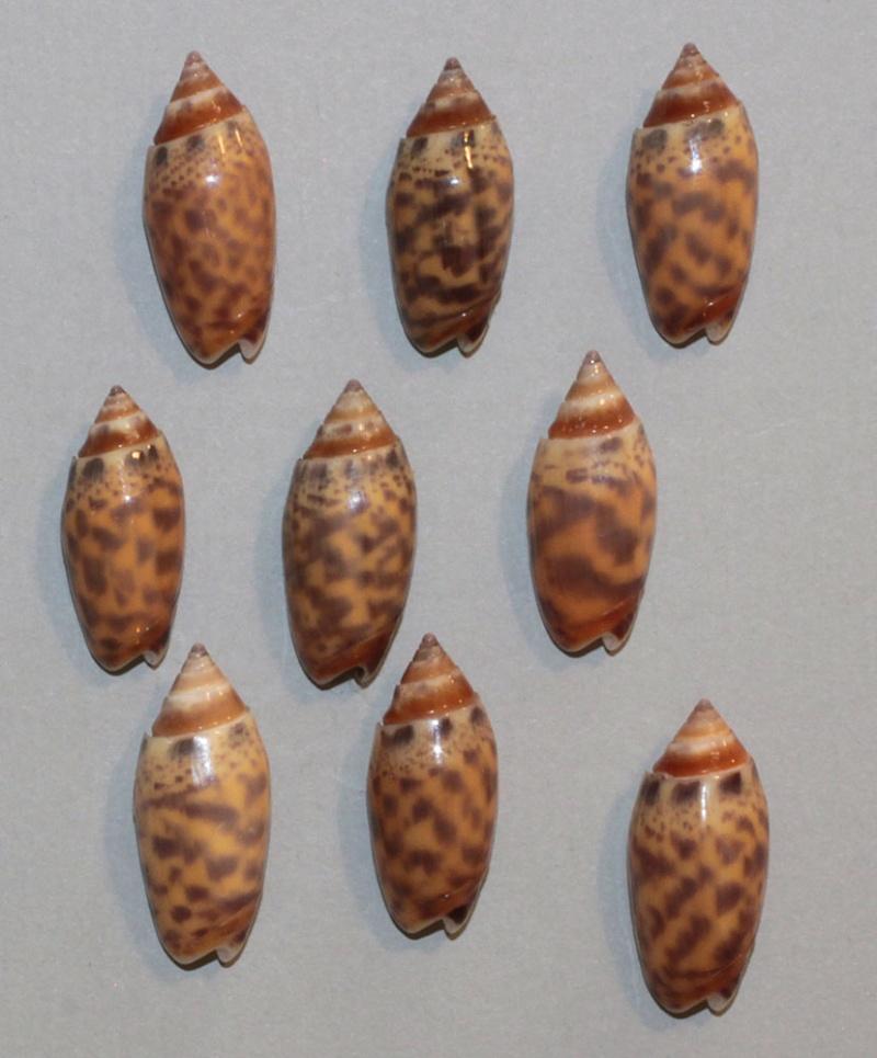Annulatoliva buelowi phuketensis (Tursch, Germain & Greifeneder, 1986) Bulowi10