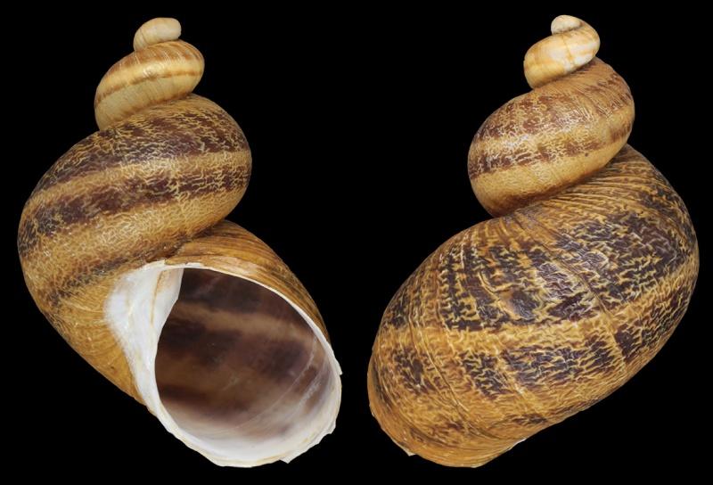 Helix aspersa f. subcornucopiae (O.F. Muller, 1774) Helix_10
