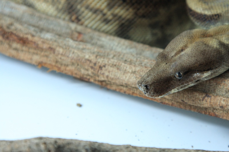[VENDS] Boa constrictor sabogae pure souche Img_7110