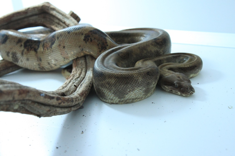 [VENDS] Boa constrictor sabogae pure souche Img_7112