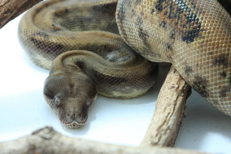 [VENDS] Boa constrictor sabogae pure souche Img_7113