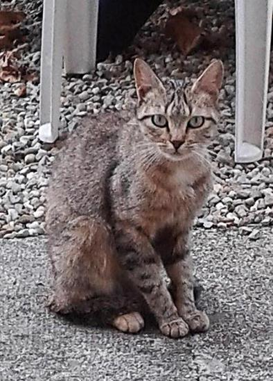 Chats abandonnés cherchent nouvelle maison, photos Grise-12