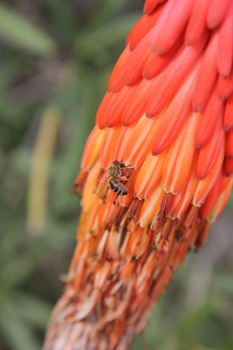 Aloe reitzii Aloe_r10