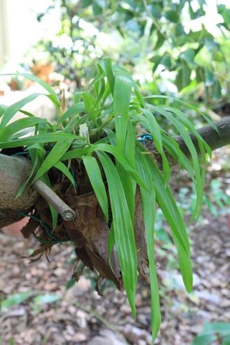 Peut-on sortir des orchidées semi-rustiques dès avril ? Coelog10