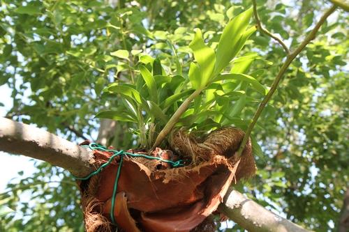 Peut-on sortir des orchidées semi-rustiques dès avril ? Dendro10